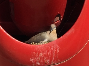 A dove's nest inside the missile